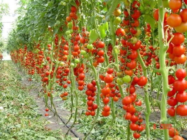 Плоды Сахарного бизона