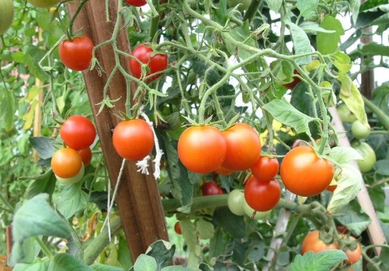 Плоды томата Сибирский скороспелый