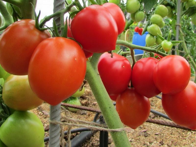 Плоды томата Столыпин