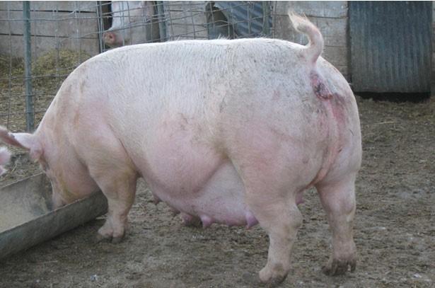 Свиноматка ест