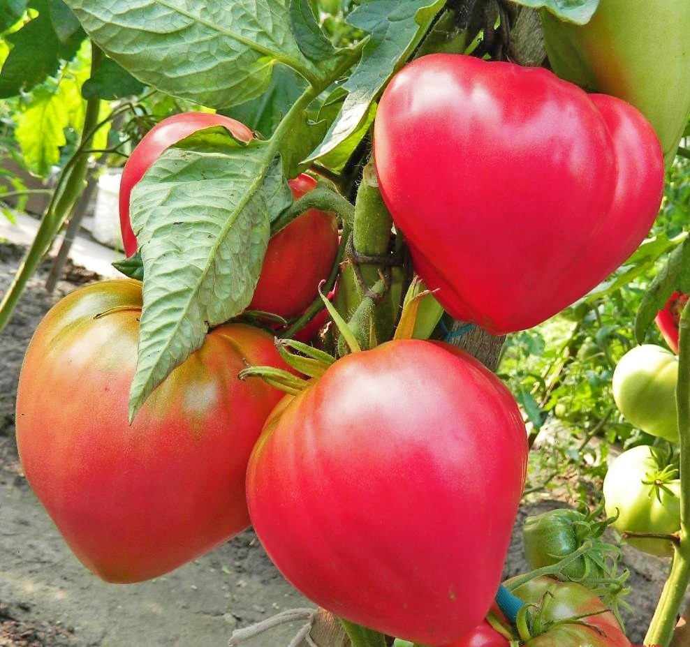 Плоды томата Абаканский