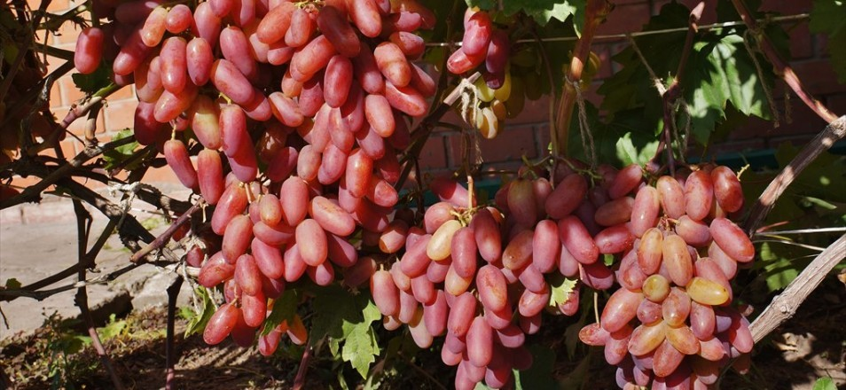 Плоды винограда Юбилей Новочеркасска