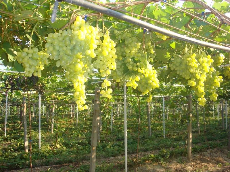 Гроздьи винограда Супер экстра