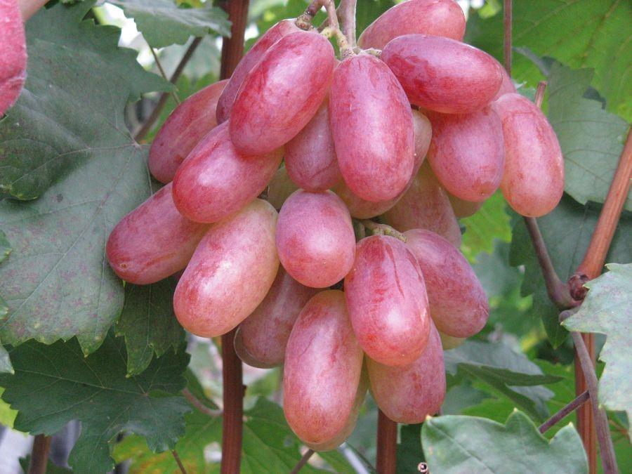 Плоды винограда Преображение