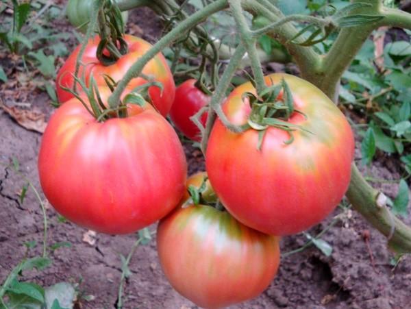 Плоды томата Воловье сердце