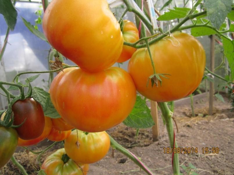 "Плоды томата ""Загадка природы"""
