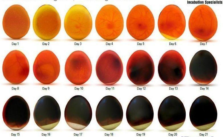 Этапы развития эмбриона утенка