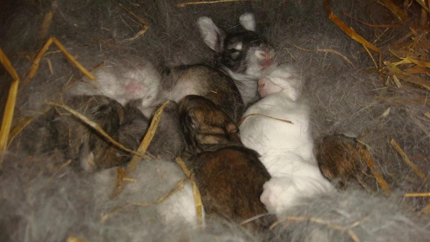 Крольчата 14-ти дневного возраста