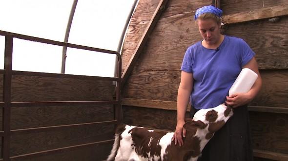 Выпаивание теленка молоком