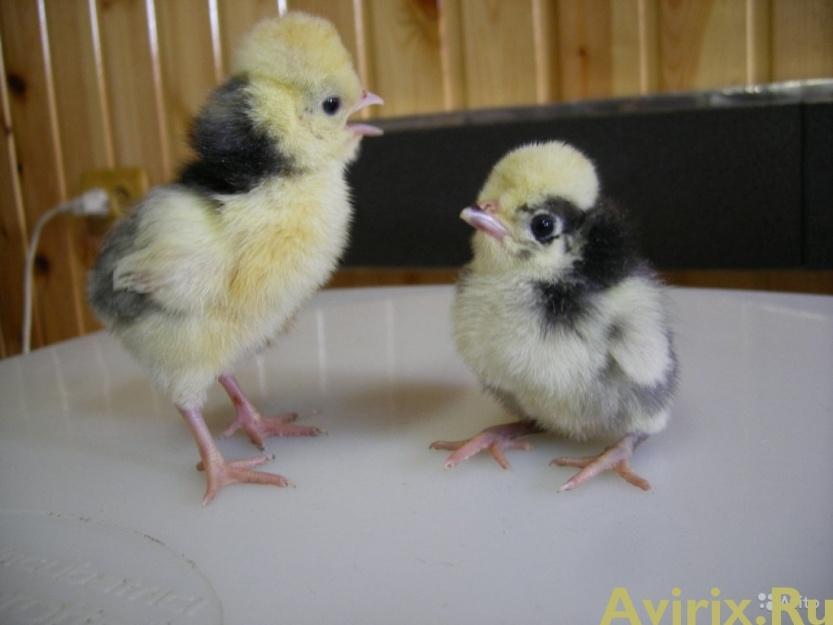 Цыплята голландской белохохлой породы с хохолками