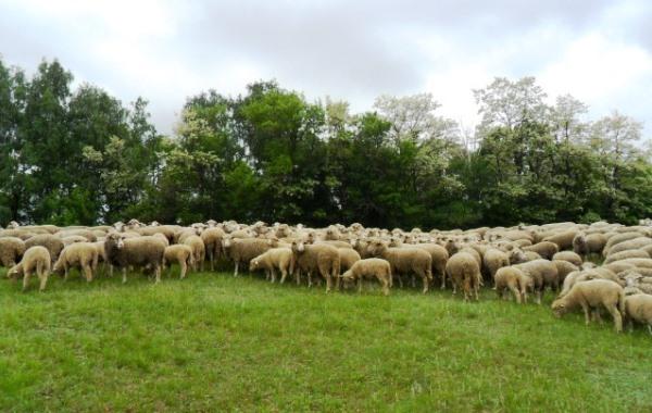 Стадо тонкорунных овец на пастбище