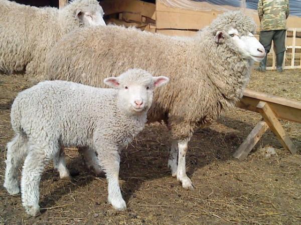 Селекционное разведение тонкорунных пород овец