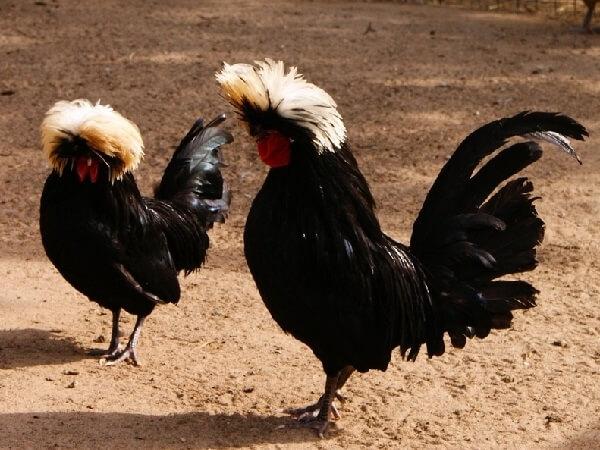 Куриная пара породы голландская белохохлая
