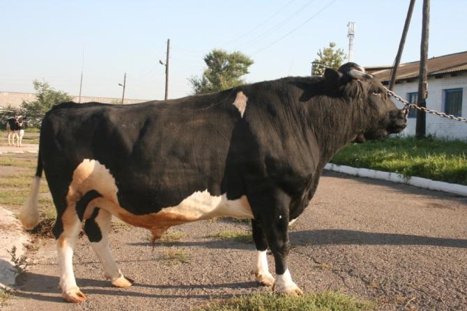 Племенной бык черно-пестрой породы