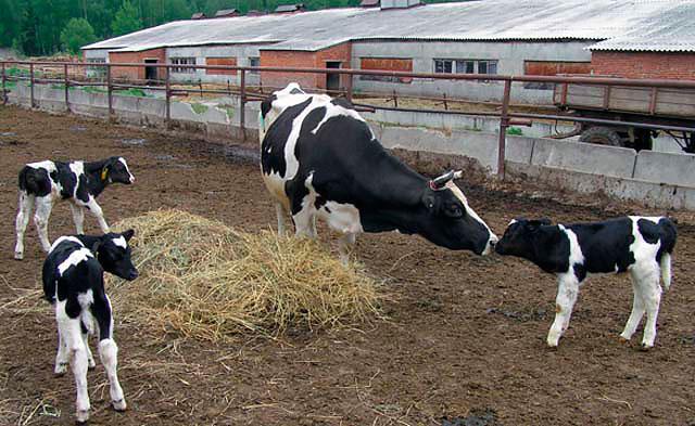 Корова с телятами во дворе коровника