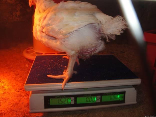 Взвешивание бройлерных куриц