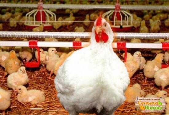 Курица хаббард с цыплятами