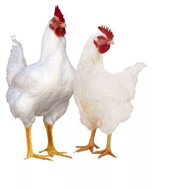 Брудеры для цыплят своими руками фото