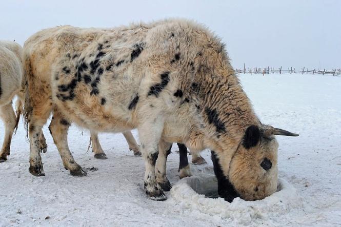 Якутская порода в суровых условиях выгула