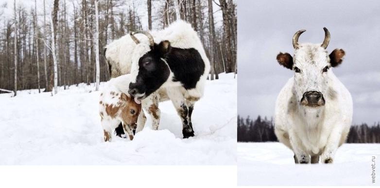 Корова и теленок якутской породы