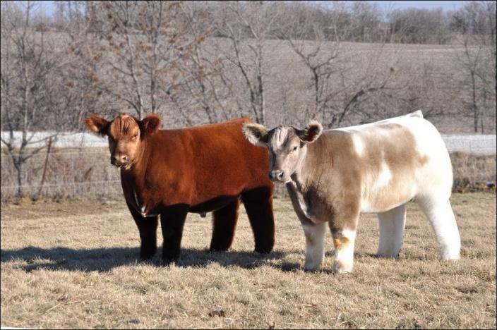 Пара плюшевых бычков
