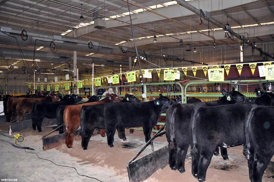 Стадо пушистых коров на частной ферме