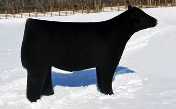 Изящные формы тела плюшевой коровы