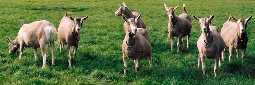 Стадо тоггенбургских коз
