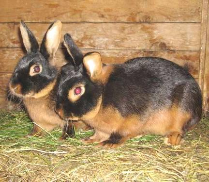 Пара черно-бурых кроликов