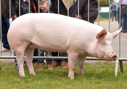 Свинья породы йоркшир на прогулке