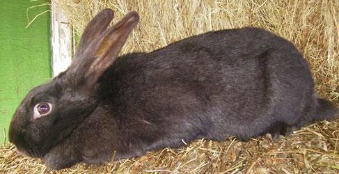 Породистый черно-бурый кролик в клетке