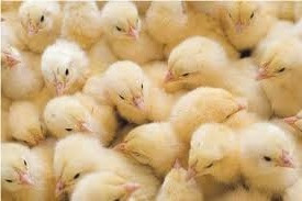 Недельные цыплята декалб