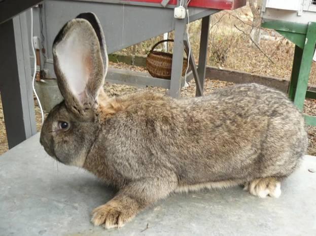 Взрослый кролик породы фландр