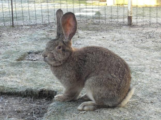 Кролик бельгийский великан в огороженном помещении