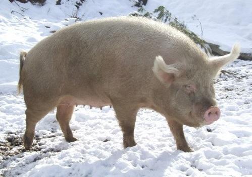 Сибирская северная свинка прекрасно себя чувствует и на снегу