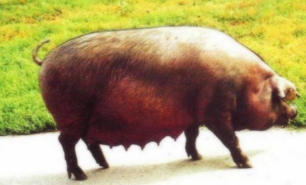 Уржумская свиноматка