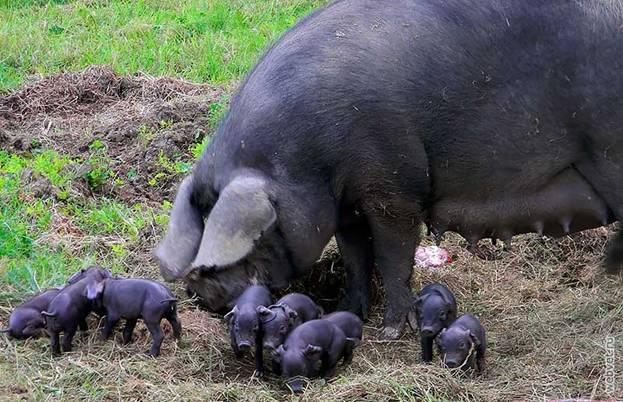 Крупная черная свиноматка с потомством