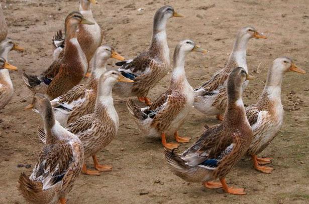 Башкирские утки хаки на прогулке