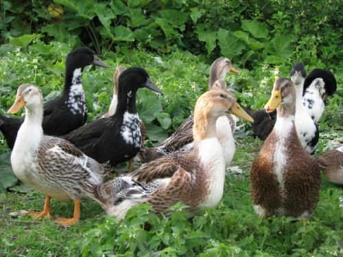 Башкирские утки на поляне