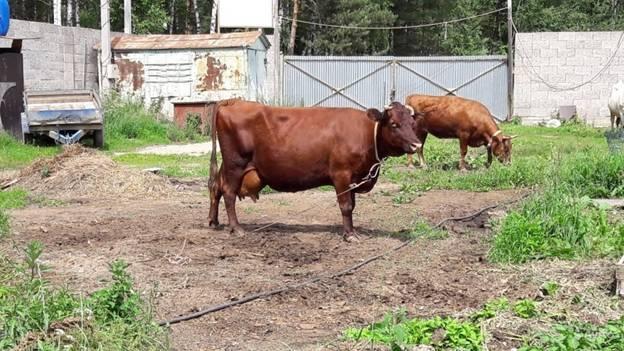 Корова красногорбатовской породы на подворье