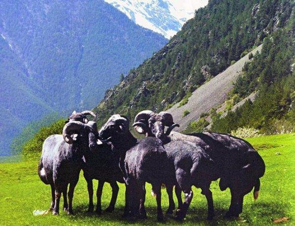 Карачаевский скот на горном пастбище
