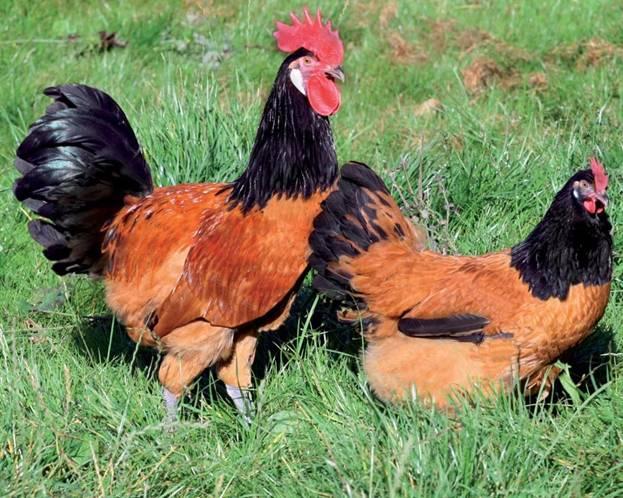 Курица и петух форверк