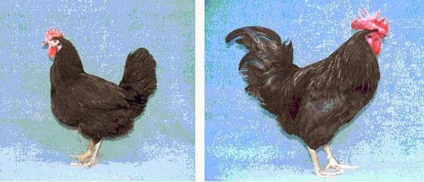 Курочка и петух черной породы