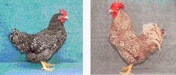 Зозулистая порода кур