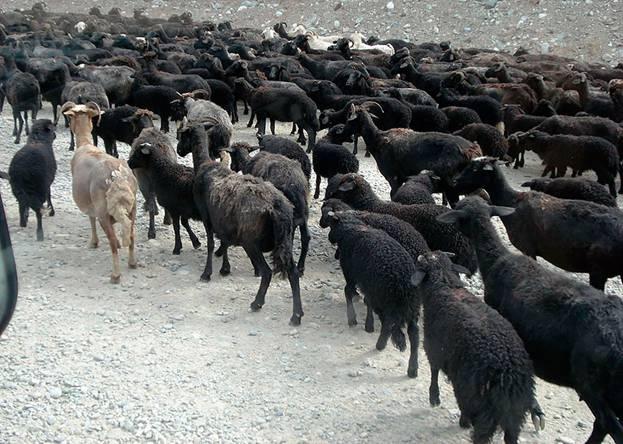Карачаевский скот прекрасно себя чувствует в любую погоду