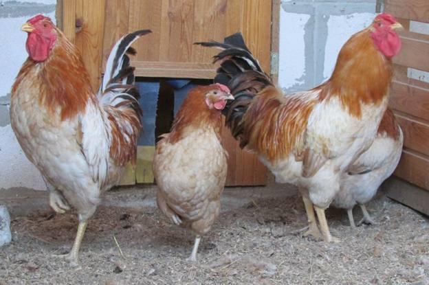 Полтавские куры в птичнике