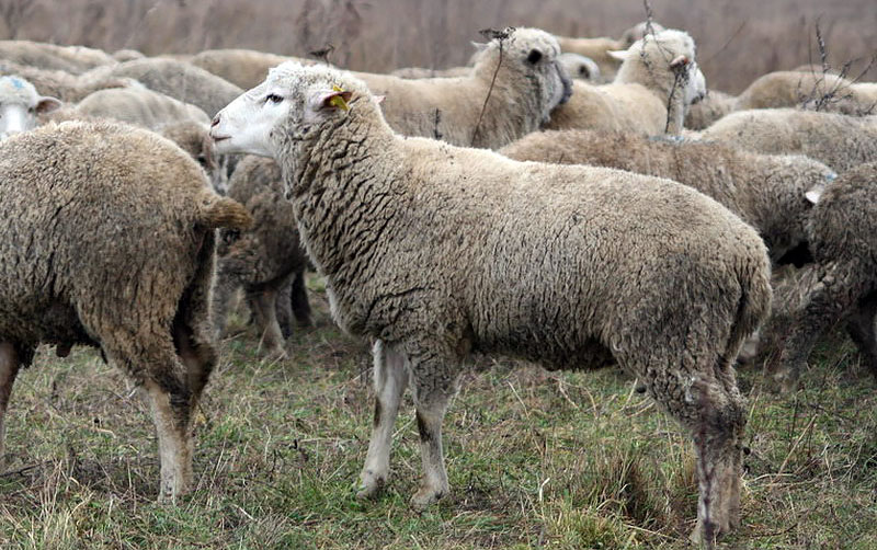 Стадо цигайских овец на пастбище