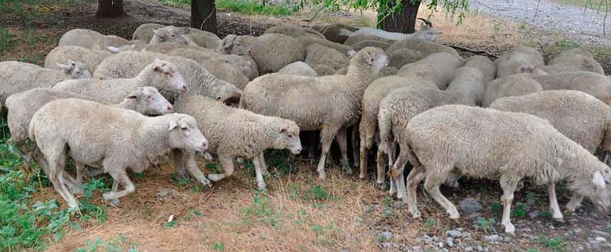 У цигайских овец сильно развито чувство стадности