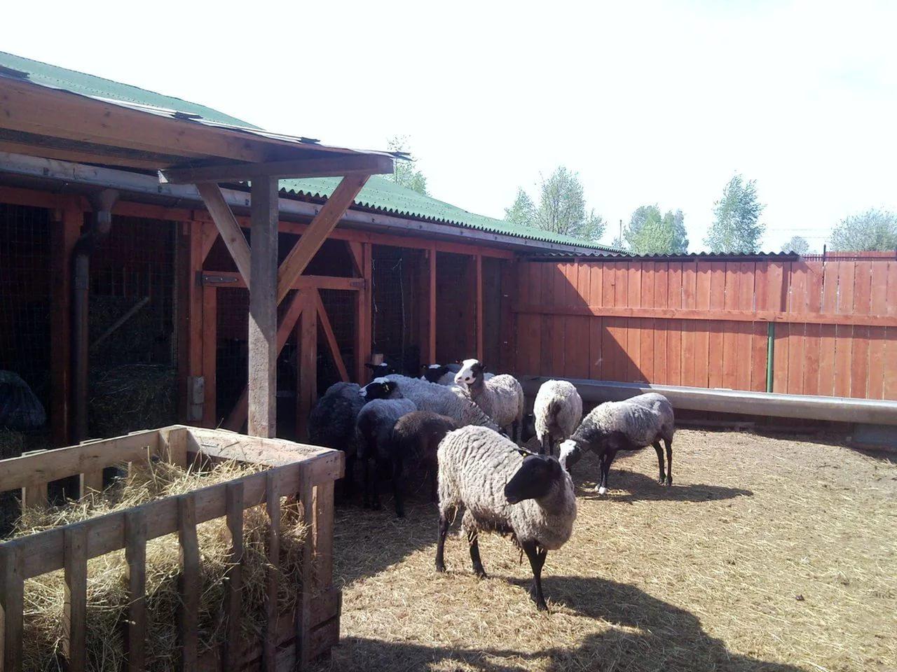Пример содержания овец