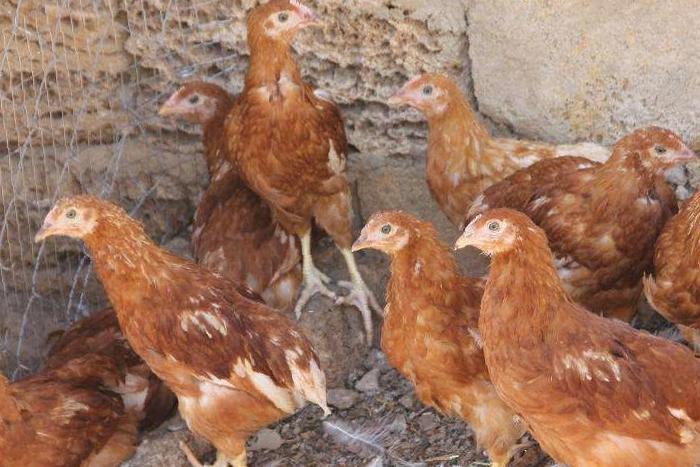 Цыплята хайсекс браун